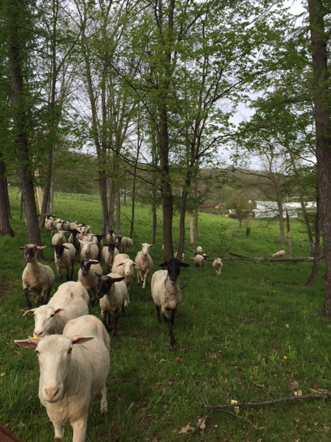 2016.0515羊の移動
