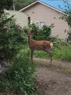 2016.0909エゾ鹿IMG_3795