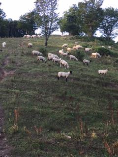 2016.0906裏山の羊IMG_3723