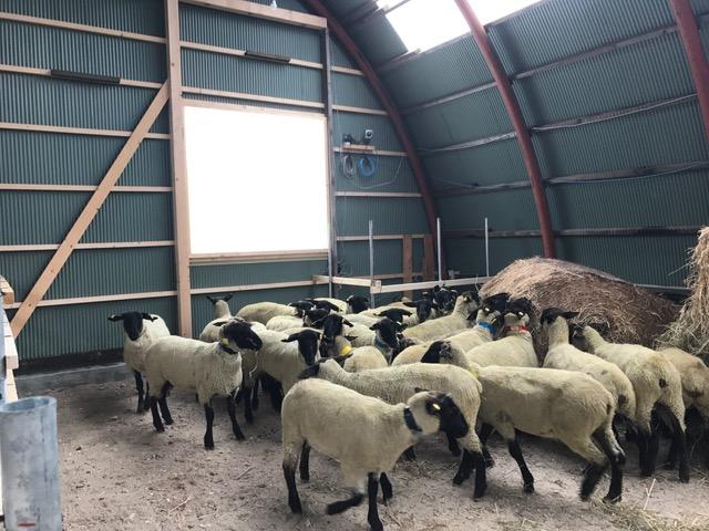 2017.0127auから羊IMG_0889