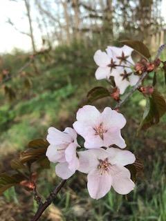2017.0509桜の花びら3IMG_1924