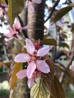 2017.0509桜の花びら1IMG_1921