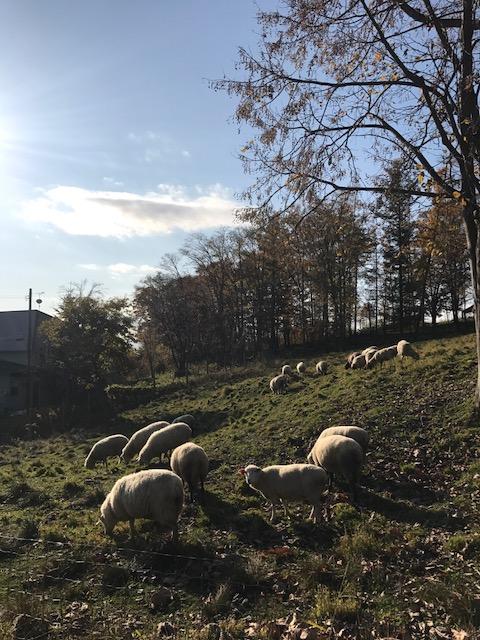 2017.1026牧草と羊IMG_4932