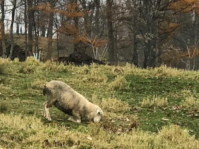2017.1107拝む羊IMG_5031