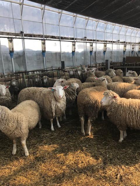 2018.0501ビニールハウスの羊舎IMG_6367