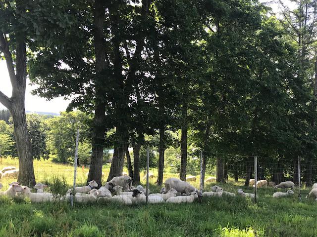 2018.0718昼寝の羊MG_7891
