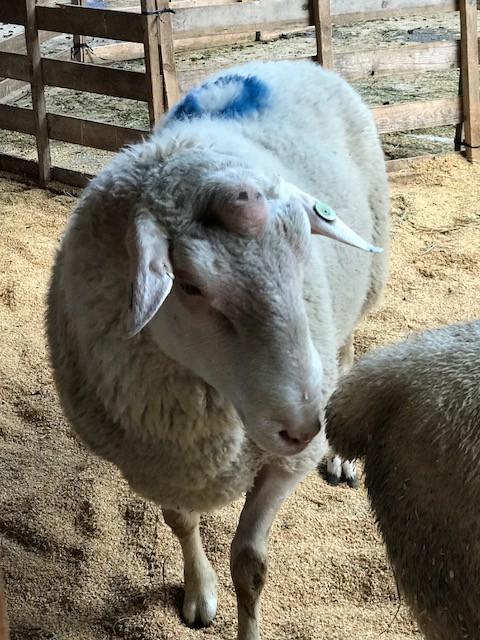 2018.0818羊の雄MG_8144