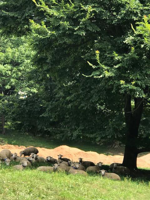 2018.0803木陰で休む羊たち_8026