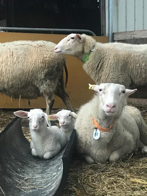 2018.0811羊の親子G_8088