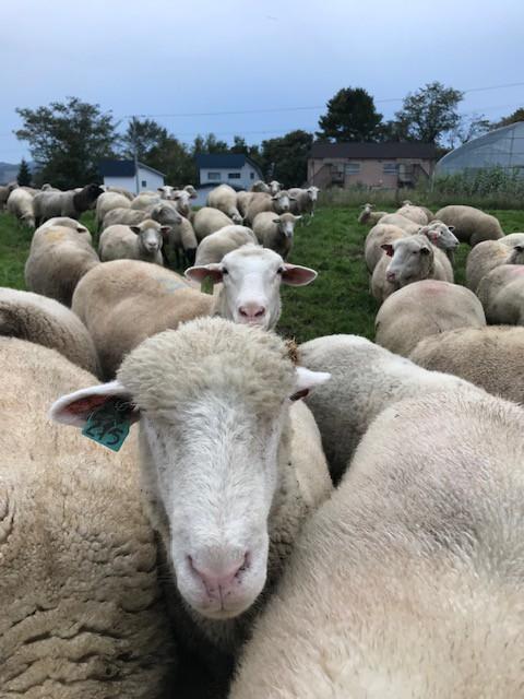 2018.1010なれなれしい羊MG_8661