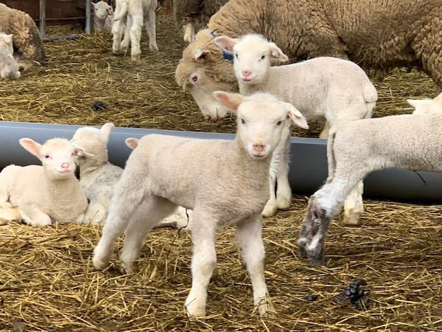 2018.1218仔羊たち_0345